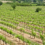 Vines growing in the sun