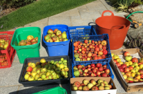 Cider Time – 2017's Lisia Gold Production